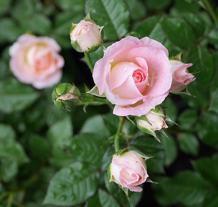 チュチュオプティマ(ミニバラ)の花が増えて来た。2018年-3.jpg