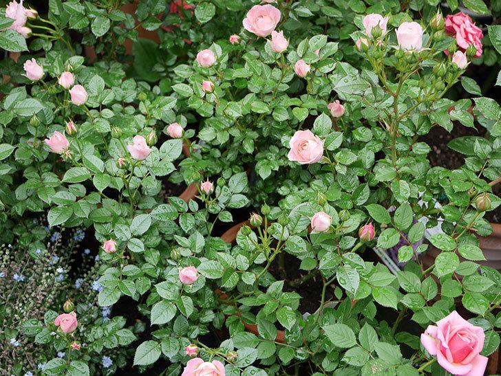 チュチュオプティマ(ミニバラ)の花が増えて来た。2018年-4.jpg