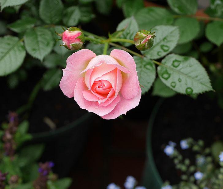 チュチュオプティマ(ミニバラ)の花が増えて来た。2018年-5.jpg