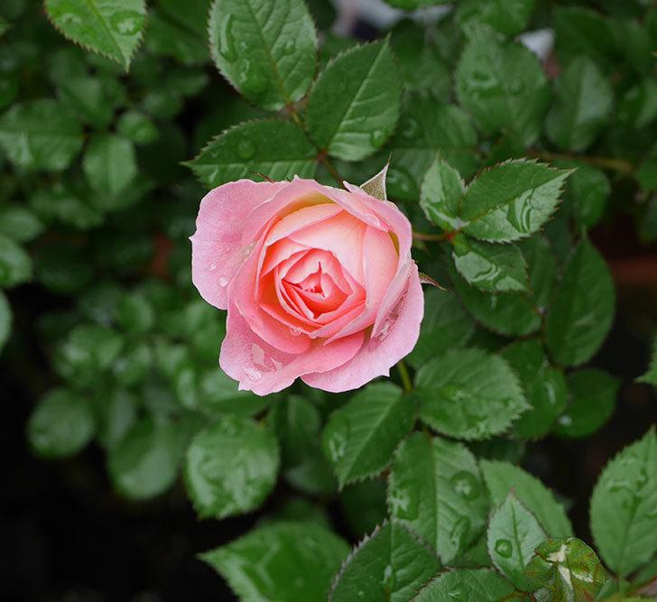 チュチュオプティマ(ミニバラ)の花が増えて来た。2018年-6.jpg