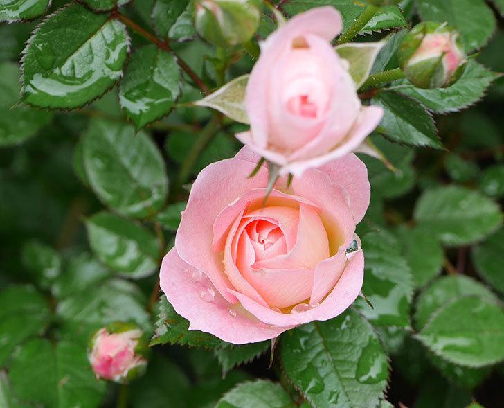チュチュオプティマ(ミニバラ)の花が増えて来た。2018年-7.jpg