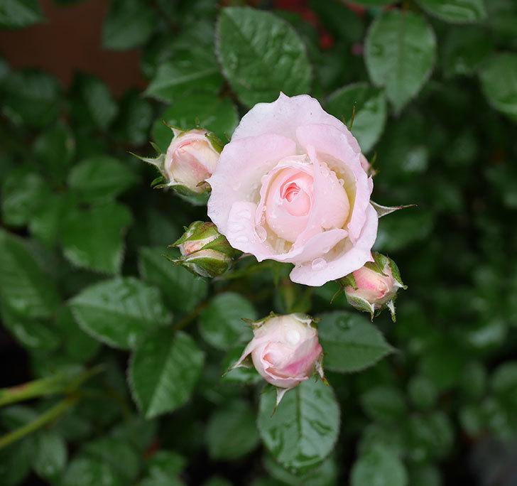 チュチュオプティマ(ミニバラ)の花が増えて来た。2018年-8.jpg