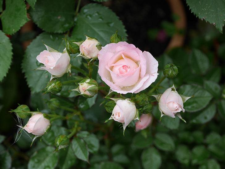 チュチュオプティマ(ミニバラ)の花が増えて来た。2018年-9.jpg