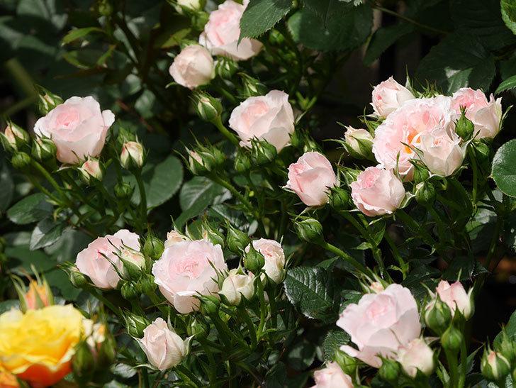 チュチュオプティマ(ミニバラ)の花が増えて来た。2019年-1.jpg