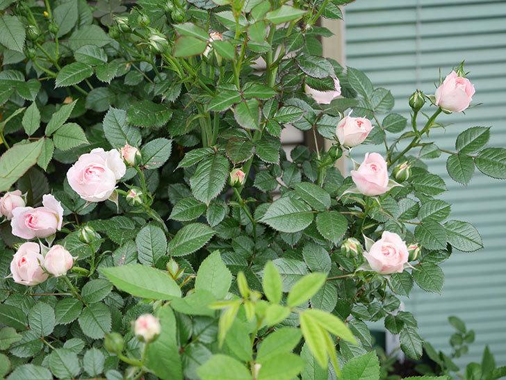 チュチュオプティマ(ミニバラ)の花が増えて来た。2019年-10.jpg