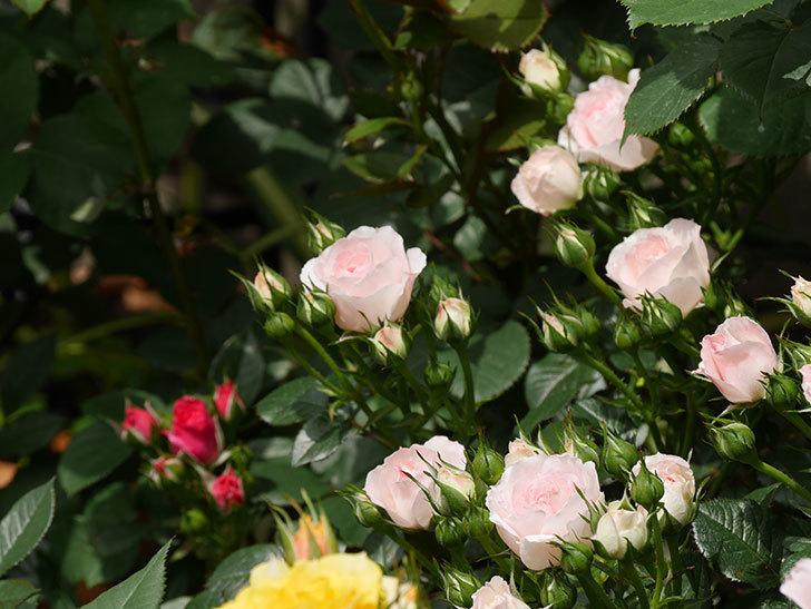 チュチュオプティマ(ミニバラ)の花が増えて来た。2019年-2.jpg