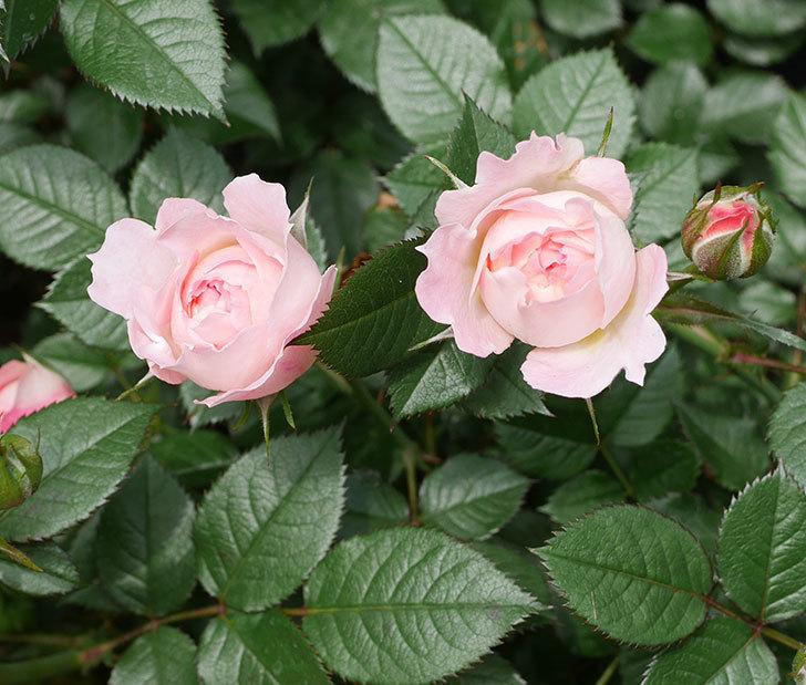 チュチュオプティマ(ミニバラ)の花が増えて来た。2019年-3.jpg