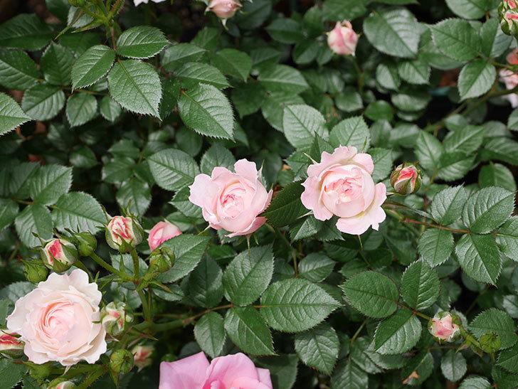チュチュオプティマ(ミニバラ)の花が増えて来た。2019年-4.jpg