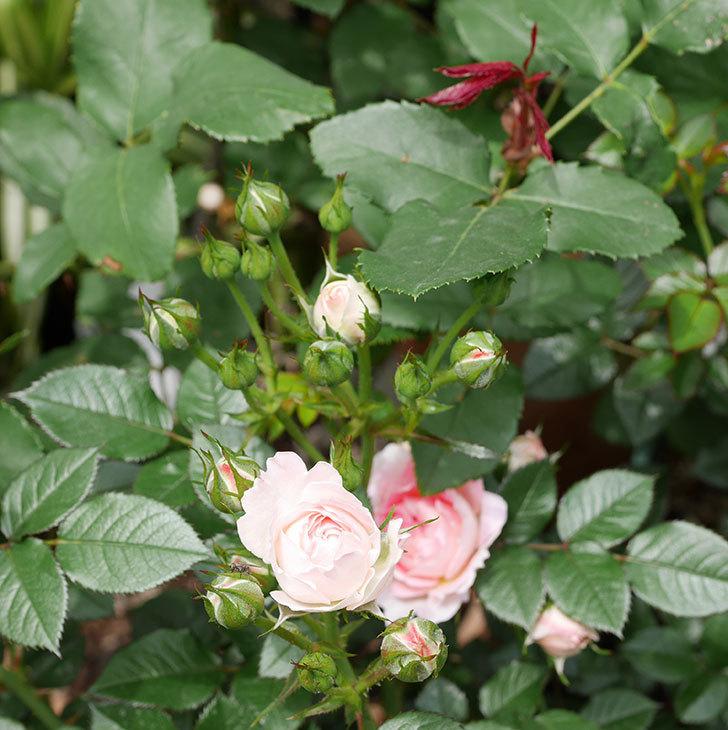 チュチュオプティマ(ミニバラ)の花が増えて来た。2019年-5.jpg