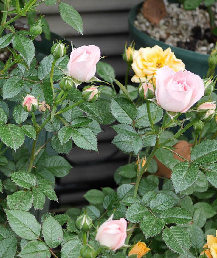 チュチュオプティマ(ミニバラ)の花が増えて来た。2019年-7.jpg