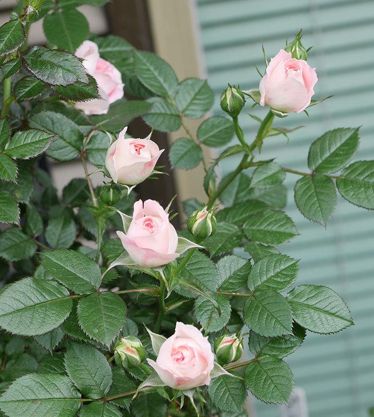 チュチュオプティマ(ミニバラ)の花が増えて来た。2019年-8.jpg