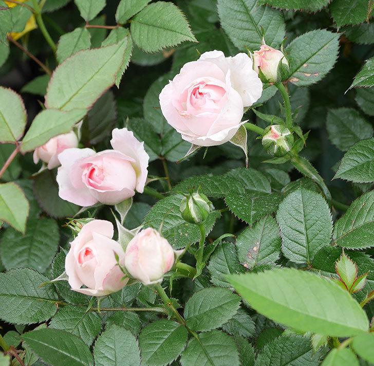 チュチュオプティマ(ミニバラ)の花が増えて来た。2019年-9.jpg