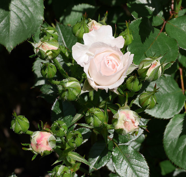 チュチュオプティマ(ミニバラ)の花が少し咲いた。2019年-1.jpg