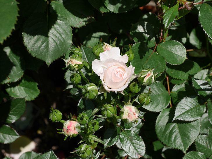 チュチュオプティマ(ミニバラ)の花が少し咲いた。2019年-2.jpg