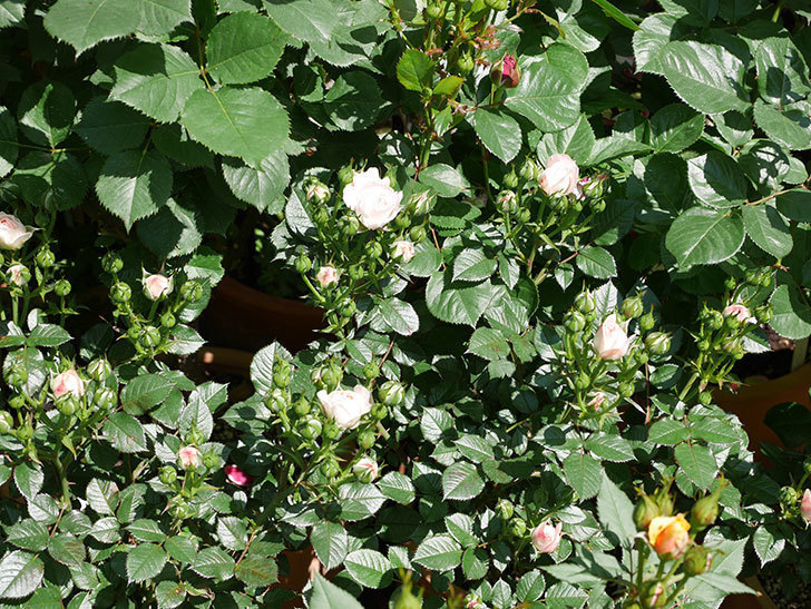 チュチュオプティマ(ミニバラ)の花が少し咲いた。2019年-6.jpg