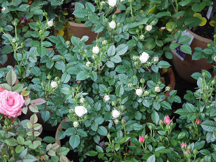チュチュオプティマ(ミニバラ)の花が少し咲いた。2020年-2.jpg