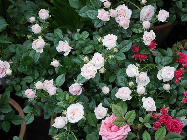 チュチュオプティマ(ミニバラ)の花が満開になった。2020年-001.jpg