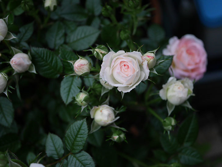 チュチュオプティマ(ミニバラ)の花が満開になった。2020年-002.jpg