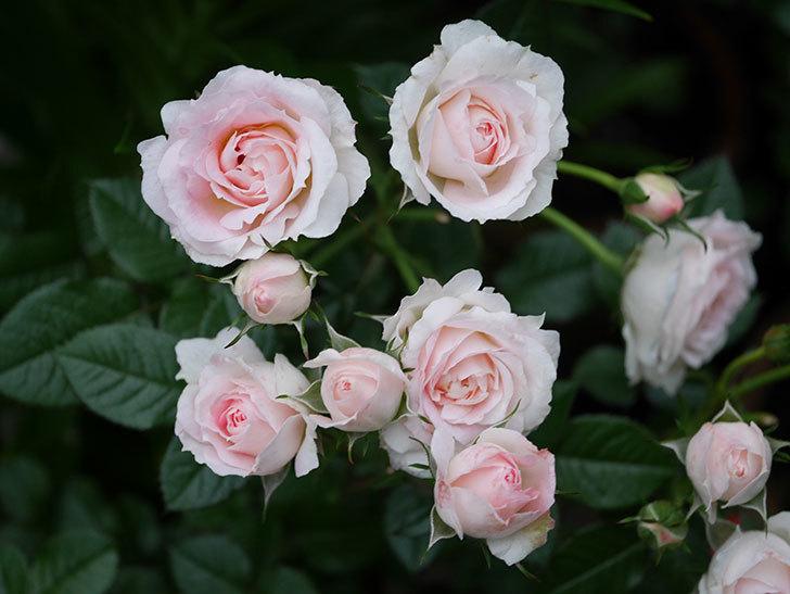 チュチュオプティマ(ミニバラ)の花が満開になった。2020年-003.jpg