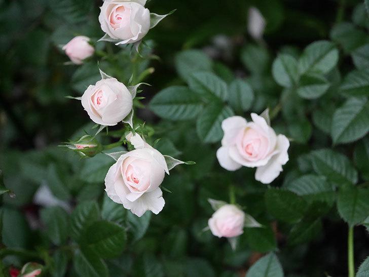チュチュオプティマ(ミニバラ)の花が満開になった。2020年-004.jpg