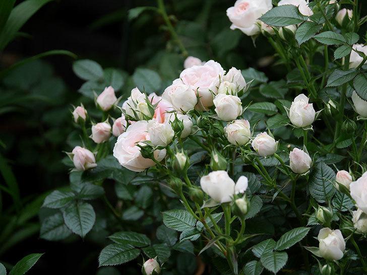 チュチュオプティマ(ミニバラ)の花が満開になった。2020年-005.jpg