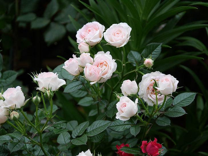チュチュオプティマ(ミニバラ)の花が満開になった。2020年-006.jpg