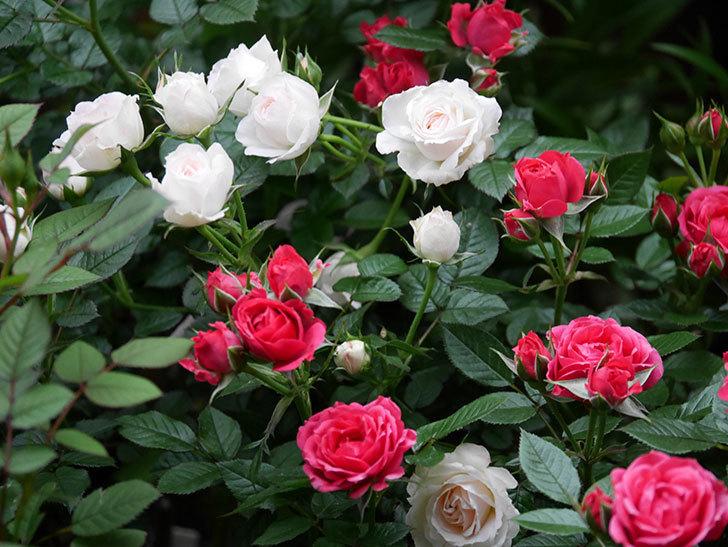 チュチュオプティマ(ミニバラ)の花が満開になった。2020年-007.jpg