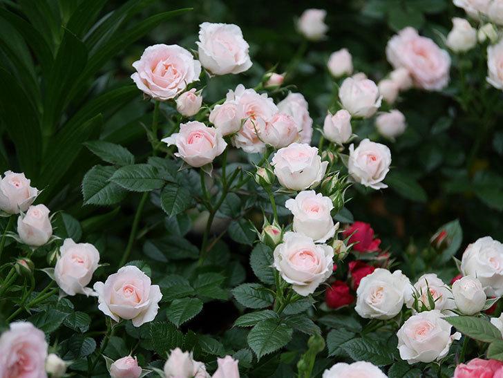 チュチュオプティマ(ミニバラ)の花が満開になった。2020年-008.jpg