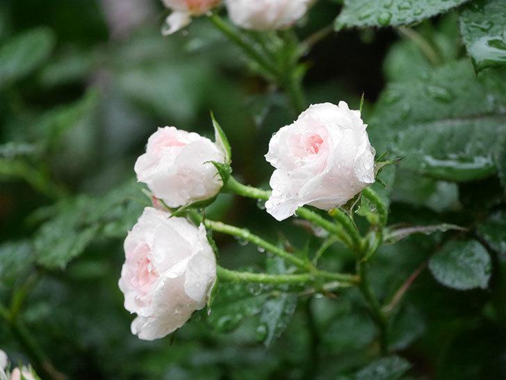 チュチュオプティマ(ミニバラ)の花が満開になった。2020年-009.jpg