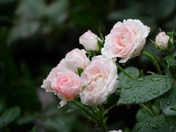 チュチュオプティマ(ミニバラ)の花が満開になった。2020年-010.jpg