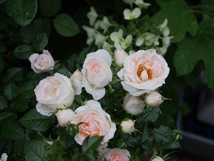 チュチュオプティマ(ミニバラ)の花が満開になった。2020年-011.jpg