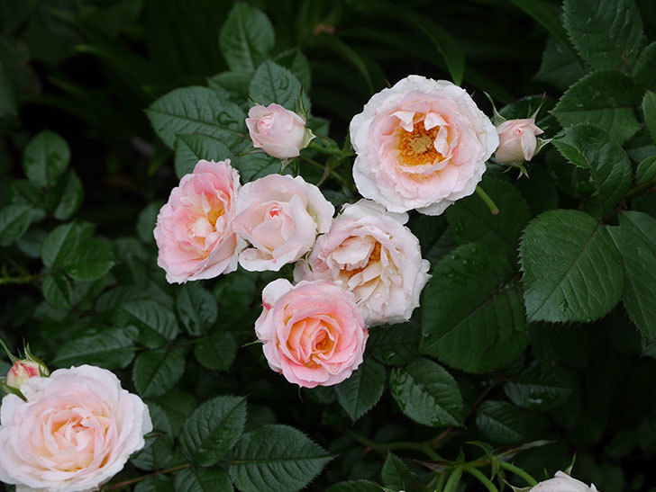 チュチュオプティマ(ミニバラ)の花が満開になった。2020年-012.jpg