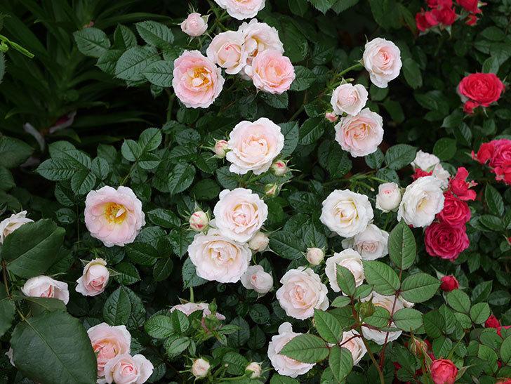 チュチュオプティマ(ミニバラ)の花が満開になった。2020年-013.jpg