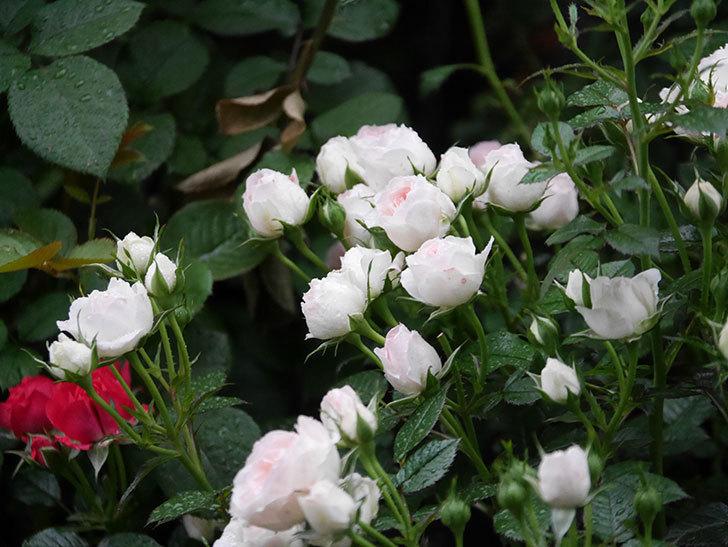 チュチュオプティマ(ミニバラ)の花が満開になった。2020年-014.jpg