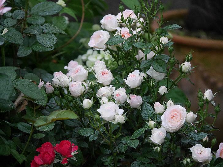 チュチュオプティマ(ミニバラ)の花が満開になった。2020年-015.jpg