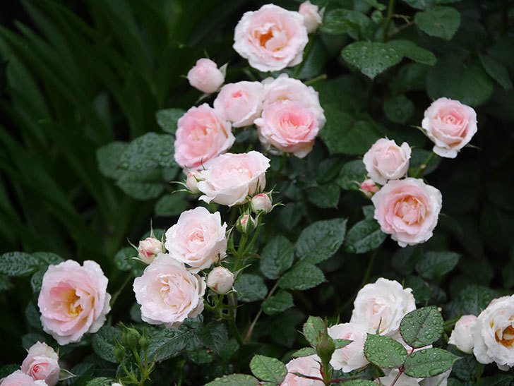 チュチュオプティマ(ミニバラ)の花が満開になった。2020年-016.jpg
