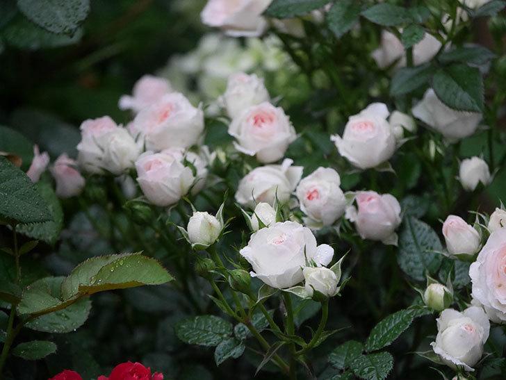 チュチュオプティマ(ミニバラ)の花が満開になった。2020年-017.jpg