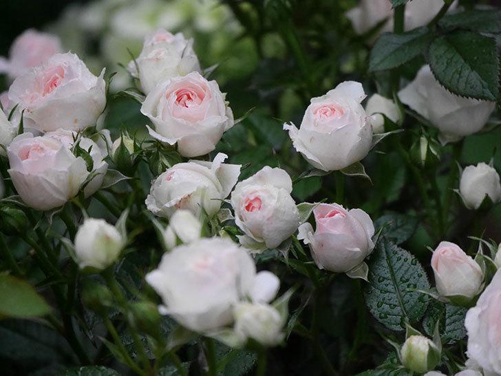 チュチュオプティマ(ミニバラ)の花が満開になった。2020年-018.jpg