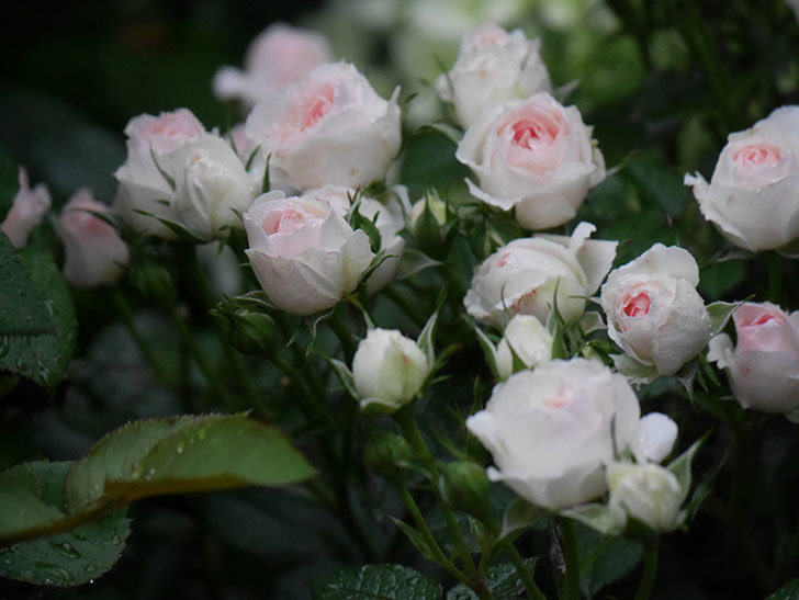 チュチュオプティマ(ミニバラ)の花が満開になった。2020年-019.jpg