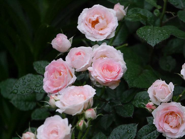 チュチュオプティマ(ミニバラ)の花が満開になった。2020年-020.jpg