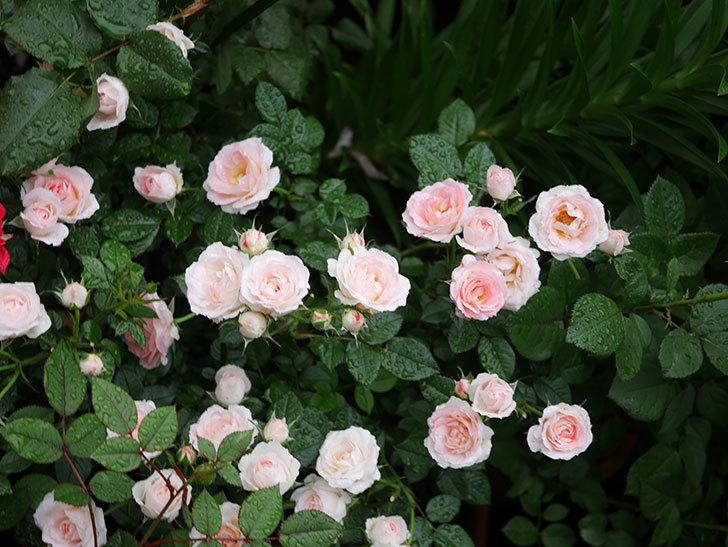 チュチュオプティマ(ミニバラ)の花が満開になった。2020年-021.jpg