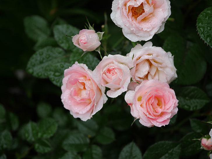 チュチュオプティマ(ミニバラ)の花が満開になった。2020年-022.jpg