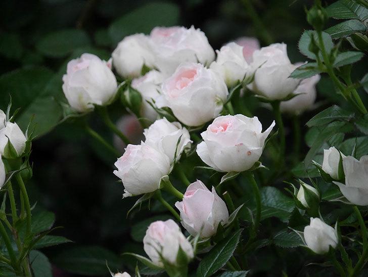 チュチュオプティマ(ミニバラ)の花が満開になった。2020年-023.jpg