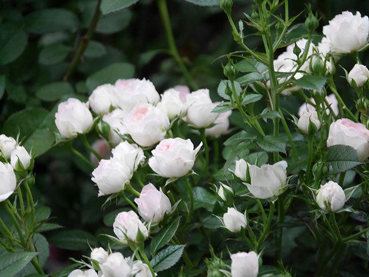チュチュオプティマ(ミニバラ)の花が満開になった。2020年-024.jpg