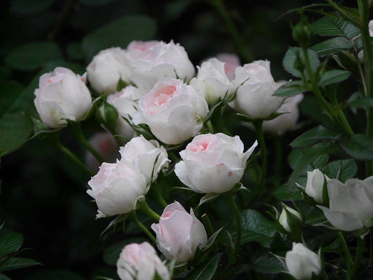 チュチュオプティマ(ミニバラ)の花が満開になった。2020年-025.jpg