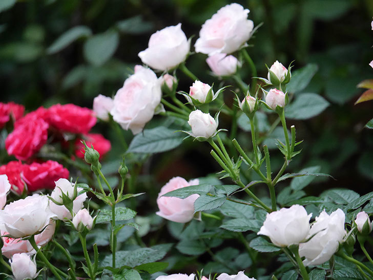 チュチュオプティマ(ミニバラ)の花が満開になった。2020年-026.jpg