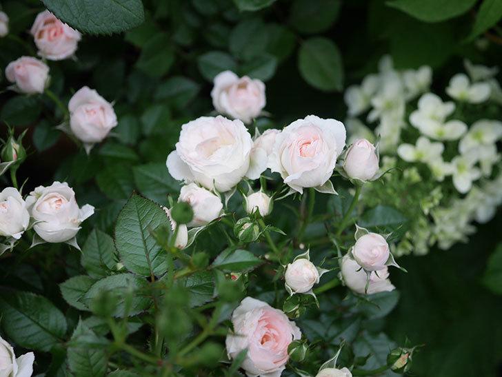 チュチュオプティマ(ミニバラ)の花が満開になった。2020年-028.jpg