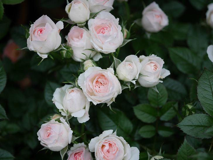 チュチュオプティマ(ミニバラ)の花が満開になった。2020年-029.jpg