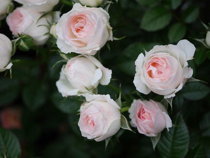 チュチュオプティマ(ミニバラ)の花が満開になった。2020年-031.jpg