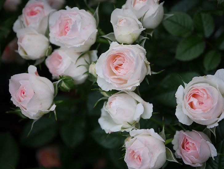 チュチュオプティマ(ミニバラ)の花が満開になった。2020年-032.jpg